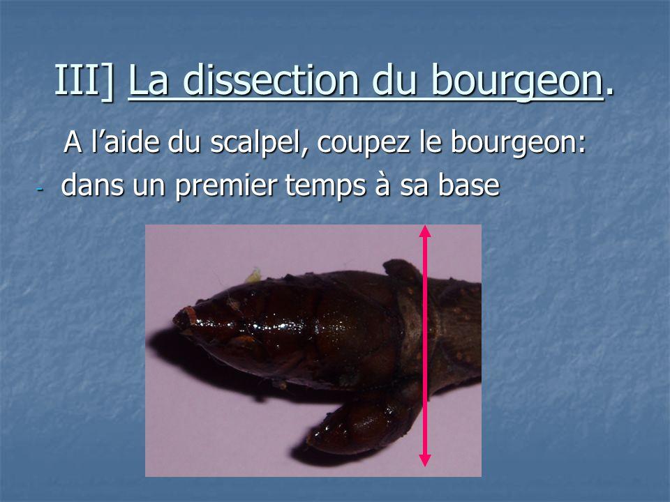 III] La dissection du bourgeon.